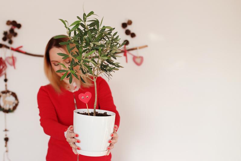 Moja Oliwka. Jak hodować w domu Drzewko Oliwne?