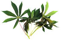 daun singkong bermanfaat mengobati