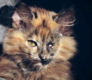 Cara Mengobati Sakit Mata Pada Kucing