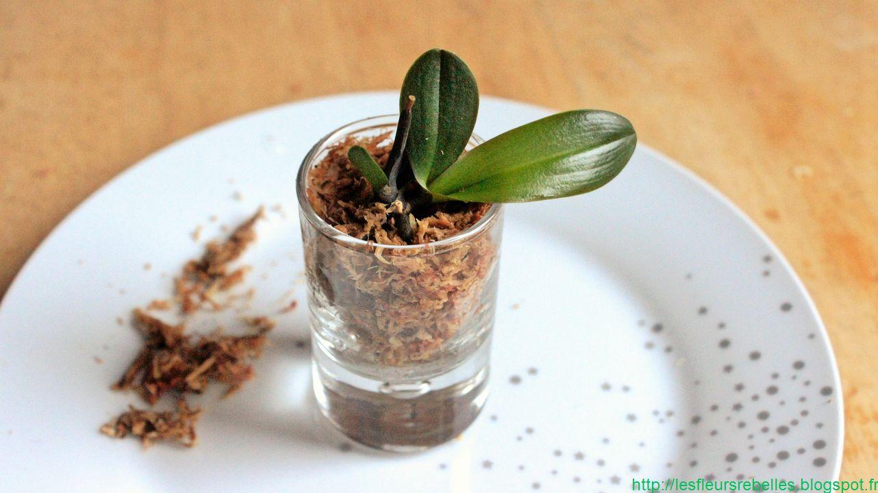 planter une racine d'orchidee