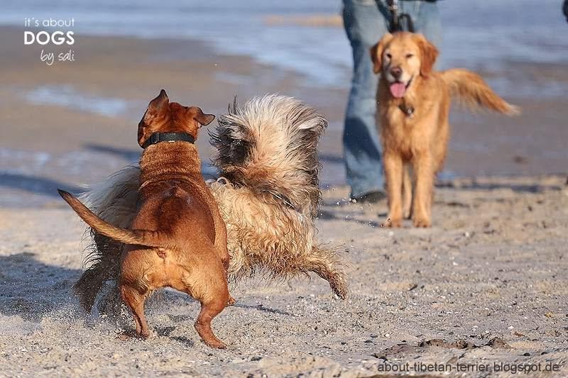 TIbet Terrier Chiru wird von einem fremden Hund am Strand angesprungen