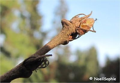 Bourgeon de chêne chevelu