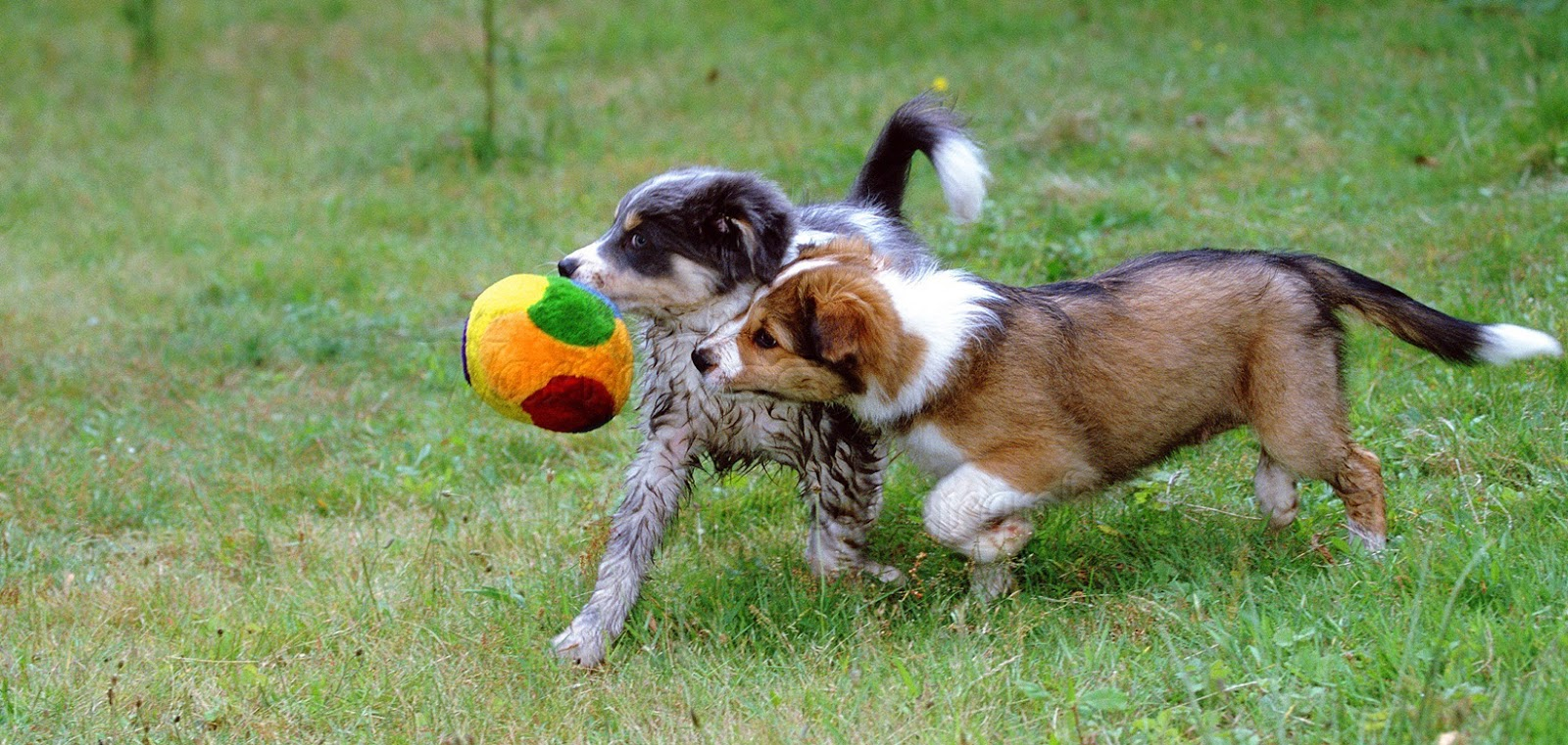 Two young puppies playing nicely together with a round soft toy
