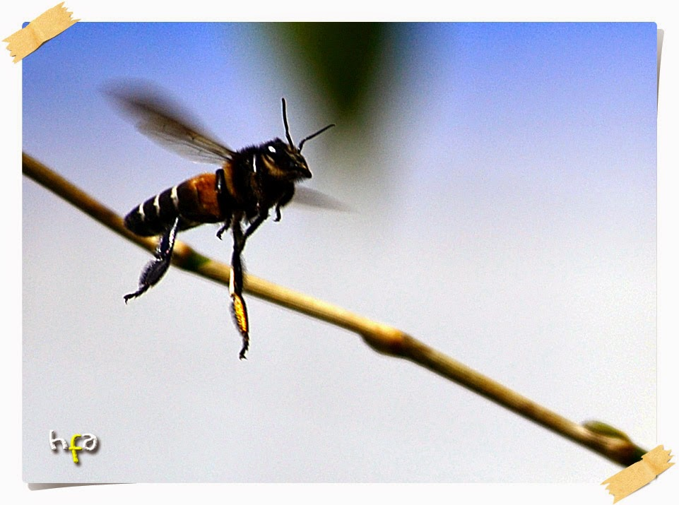 tawon / lebah