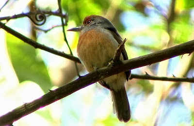 Rufous capped Nunlet
