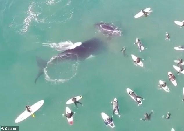Una ballena y su cría juegan junto a un grupo de surfistas