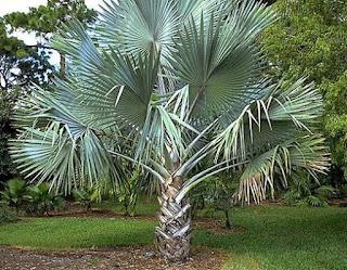 bizmark palm