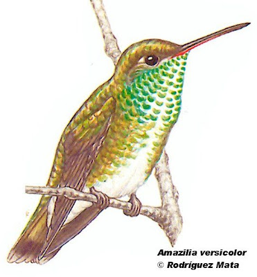 Picaflor esmeralda Amazilia versicolor