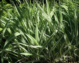 """Phalaris arundinacea """"Picta"""" - Baldingère faux-roseau - Alpiste faux-roseau"""