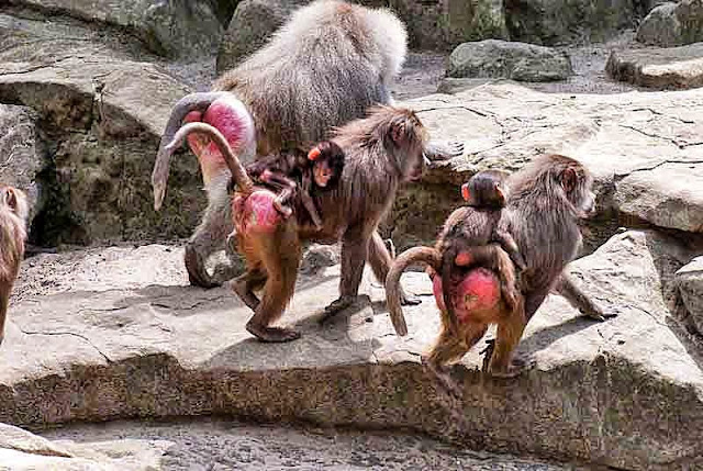 red rear, Japanese Snow Monkey, family