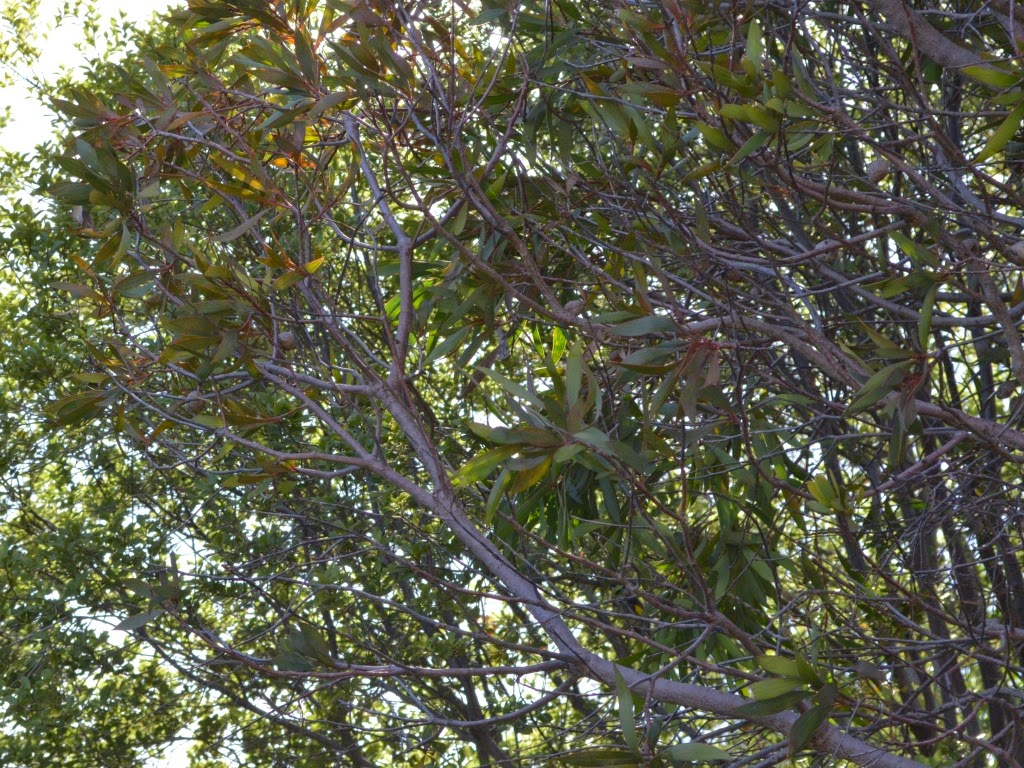 The canopy of a hakea laurina tree flanked by a pittosporum.