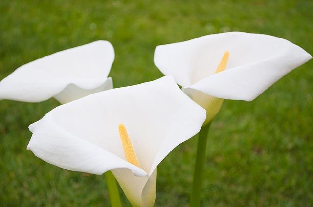 Significato del fiore calla