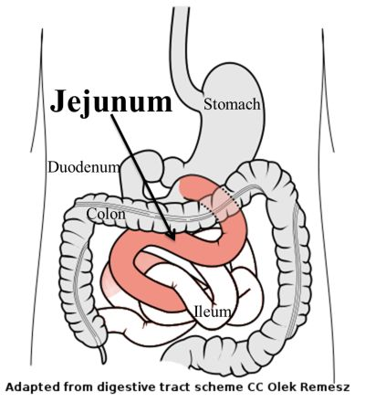 According2Robyn: Digestive System: Part 6, The Jejunum