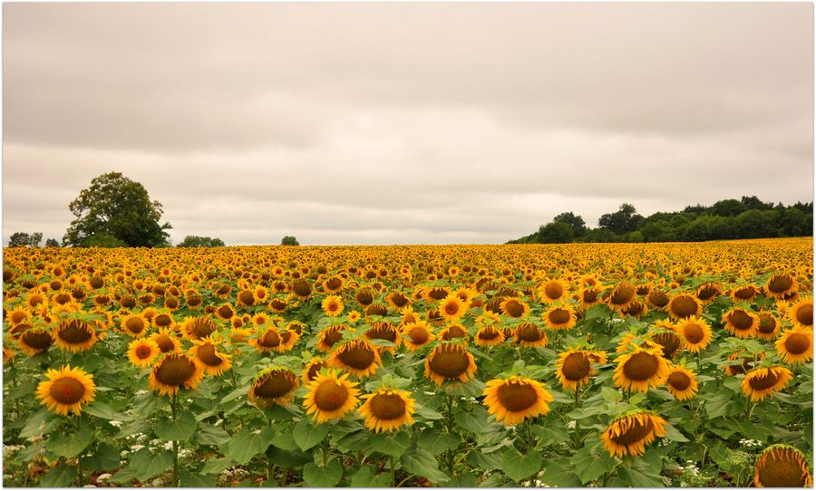 7. Land of sunflowers by Helena Blanco