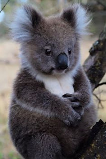 Koala gambar