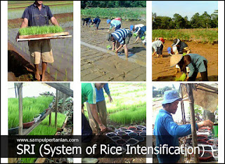 Kelebihan dan Keuntungan Metode SRI (System of Rice Intensification)