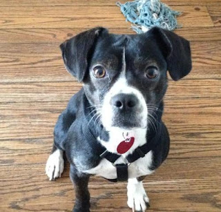 boston terrier and beagle mix northeast boston terrier rescue oscar has a forever home 594