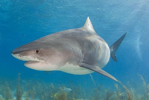 Fabulous Animals World Life Cycle Of Tiger Shark