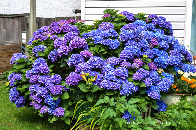 bluish purple hydrangea bush will turn multicoloured in the fall