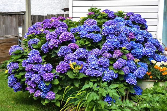 bluish purple hydrangea bush will turn multicoloured in the fall