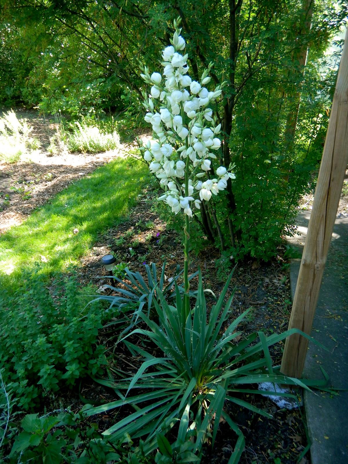 ginderellas yucca plant. Black Bedroom Furniture Sets. Home Design Ideas
