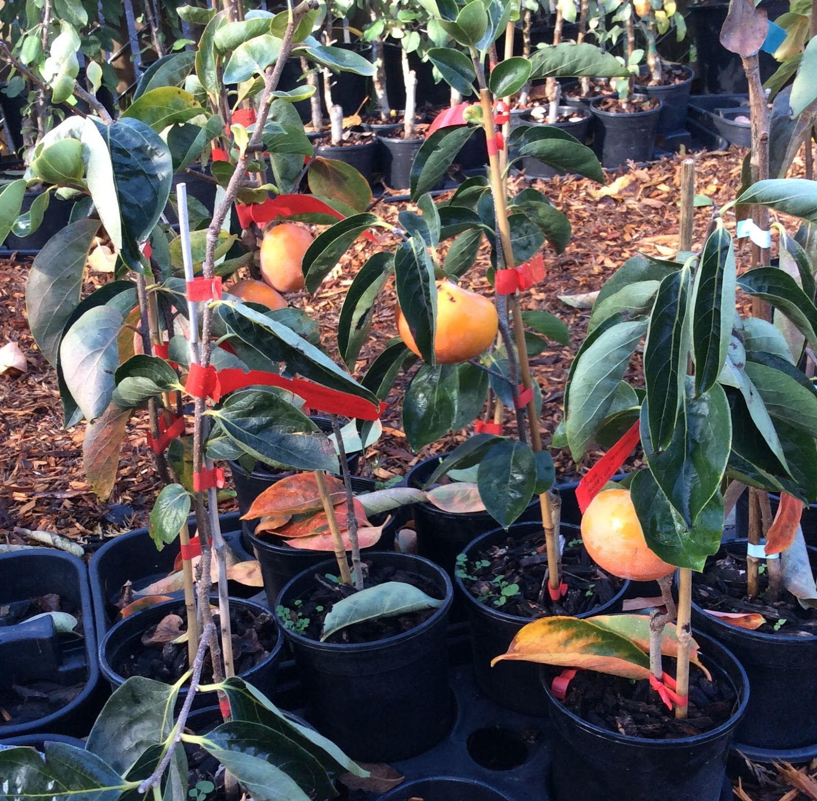 Growing Greener In The Pacific Northwest Persimmon