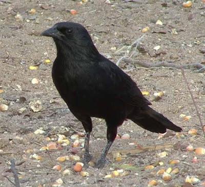 Chopi Blackbird