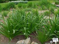 http://plantsgallery.blogspot.com/2014/02/eremurus-robustus-pustynnik-olbrzymi.html