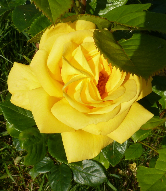 yellow rose flower in bloom garden growing