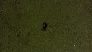 майский жук в майской ночи