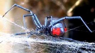 Ηλεία: Ύποπτα τσιμπήματα από μαύρη αράχνη στη Μανωλάδα