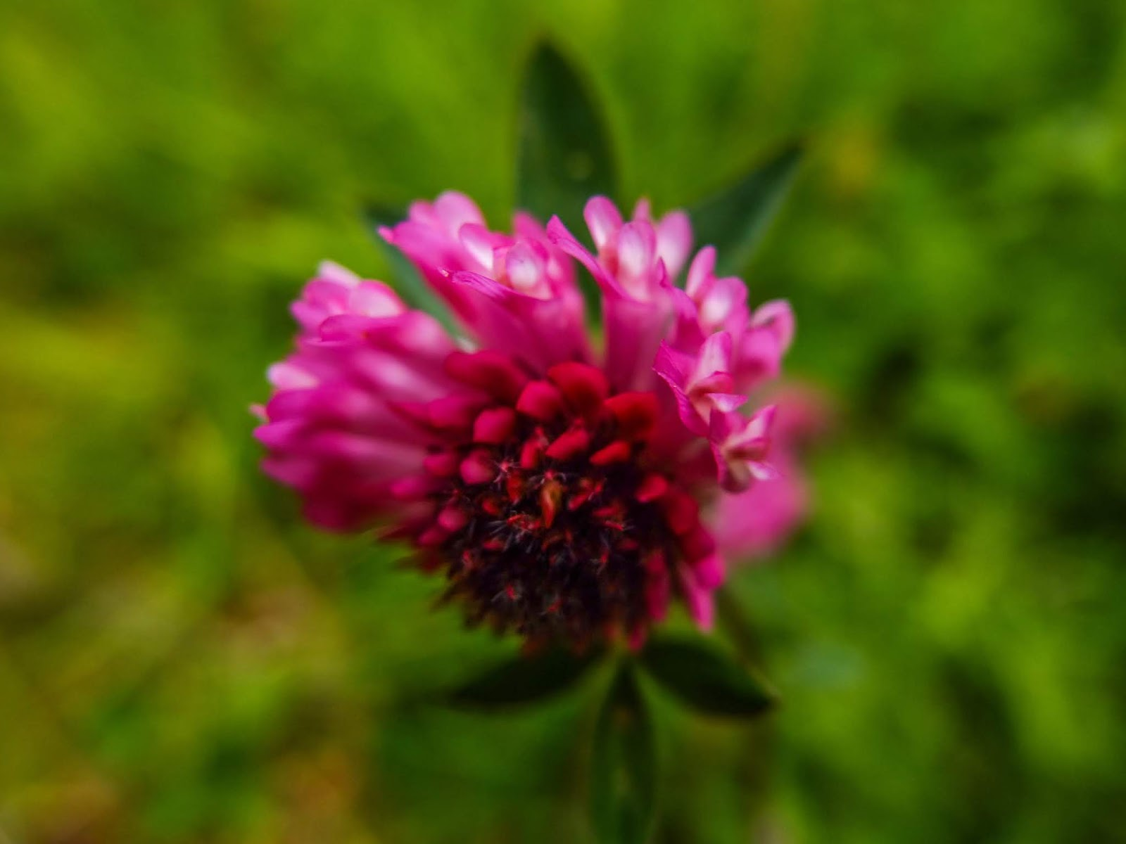 A pink clover flower just began opening its flowers.