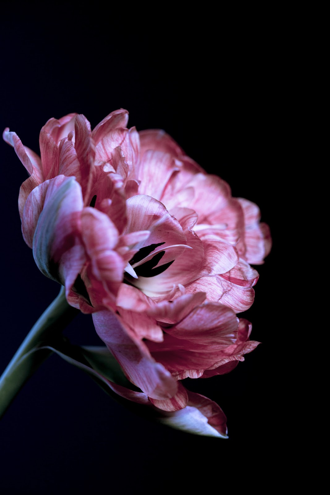 All the pretty flowers zsazsa bellagio like no other french tulip mightylinksfo