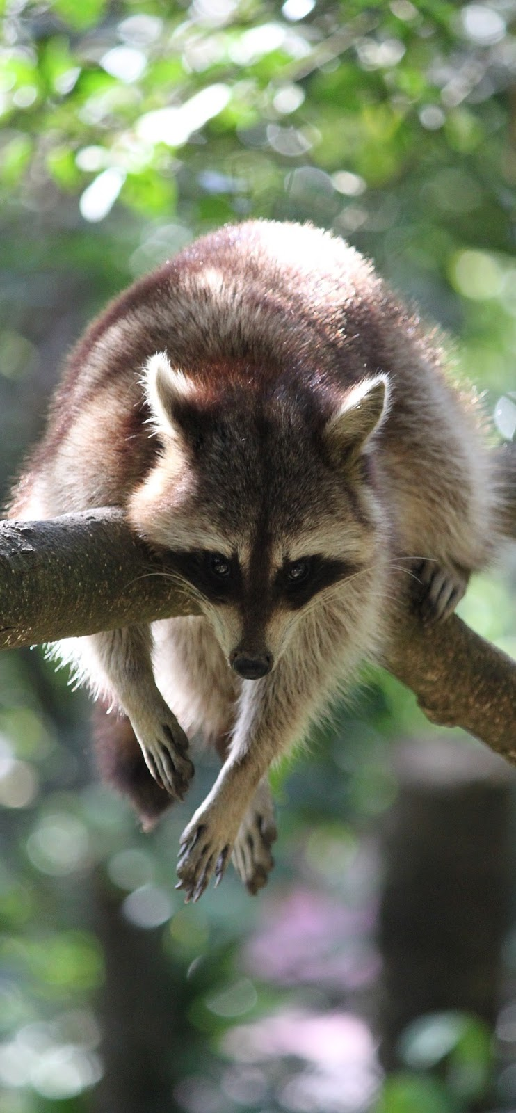 A raccoon hanging from a tree branch.