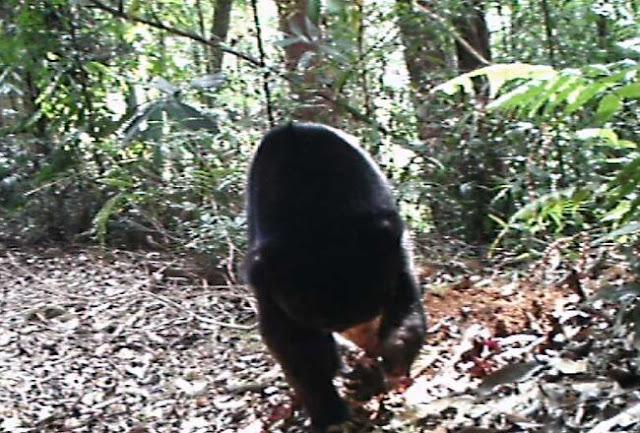 Beruang yang terekam di hutan Labura.