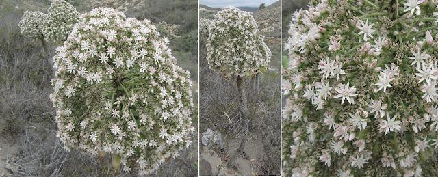 Mar a Cumbre - PR-TF-86 - Bejeque Puntero - Aeonium urbicum - Tenerife - Islas Canarias