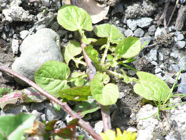 nipplewort edible weeds