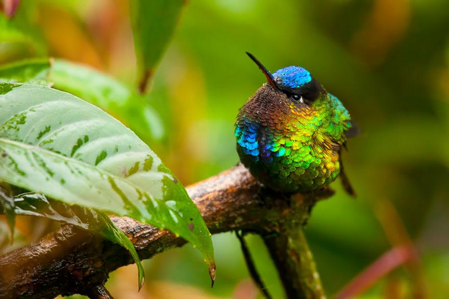 Fiery-Throated Hummingbird-2