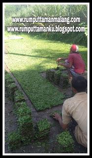 Alamat Penjual Rumput gajah mini di malang tahun 2021