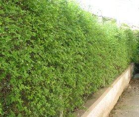 Piante e fiori la potatura degli arbusti da siepe for Arbusti da siepe