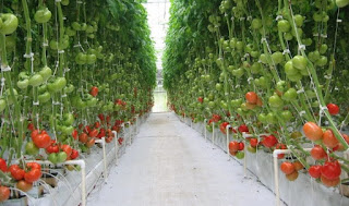 Vegetable Hydroponic Tomatoes