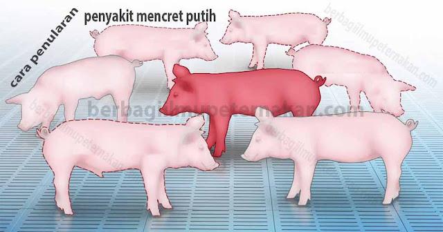 Cara Mengobati Kolibasilosis (Mencret Putih) Pada Babi