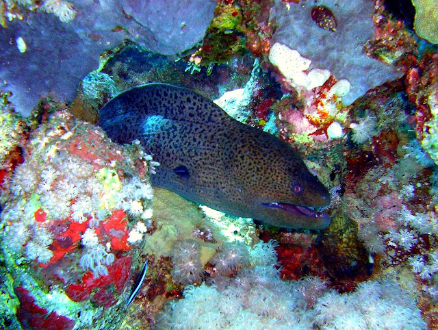 giant moray eel, red sea, egypt,
