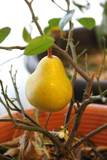 Pear on tree
