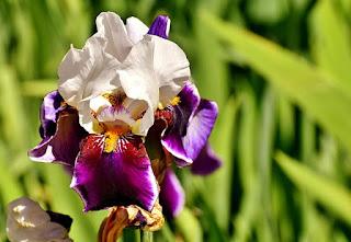 Mitos tentang bunga iris