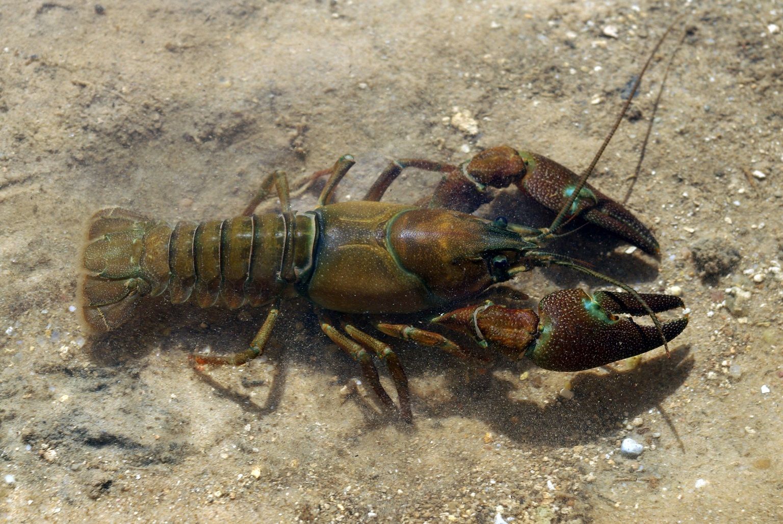 What is in the crayfish 34