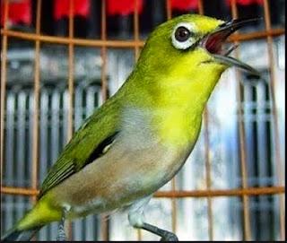 Mp3 Suara Kicau Burung Pleci ( Kacamata )