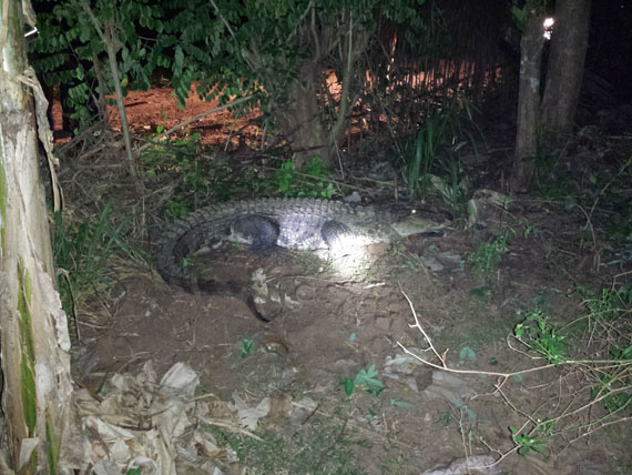 Crocodile caught in Kekirawa - (Watch Video)