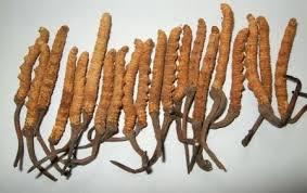 Manfaat jamur cordyceps untuk kesehatan