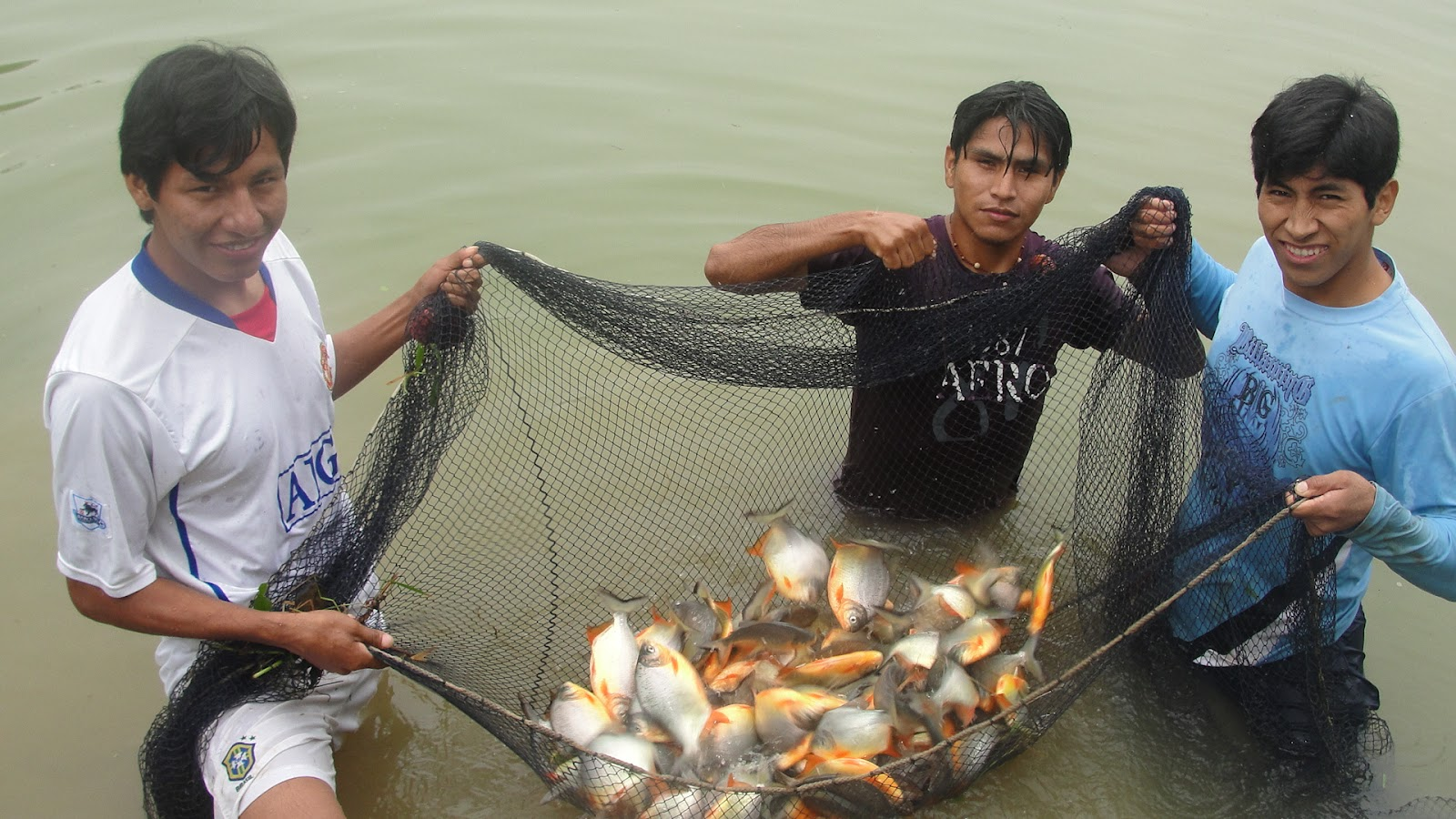 Acuicultura unibol quechua evaluaci n del cultivo de dos for Proyecto cria de peces en estanques